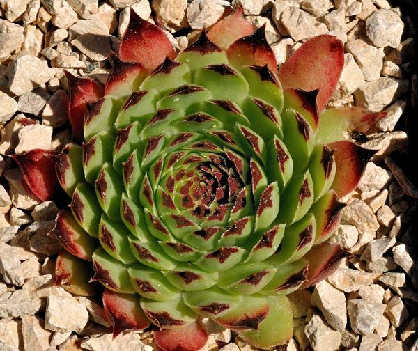 Sempervivum calcareum 'Major'
