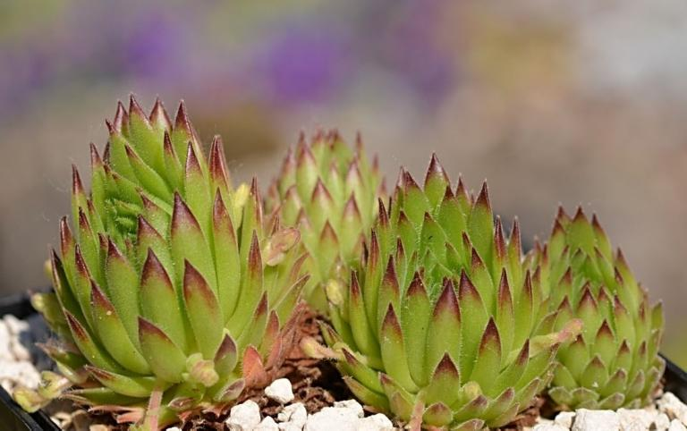 Sempervivum thompsonianum,  Stogovo-Massiv, 2159 m/Nordmazedonien