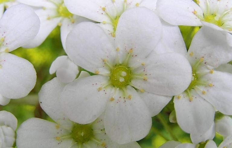 Saxifraga 'Tumbling Waters'