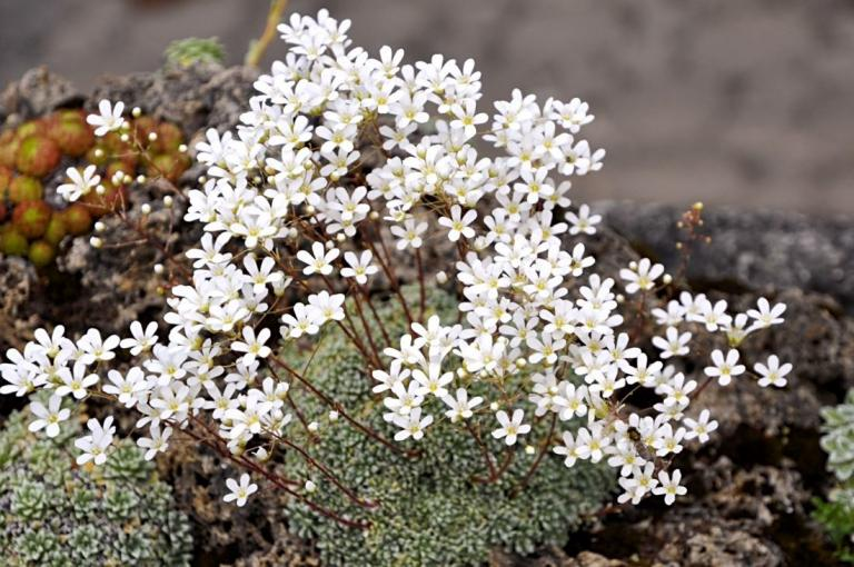 Saxifraga cochlearis 'Minor' (Bild - 17.06.2010)