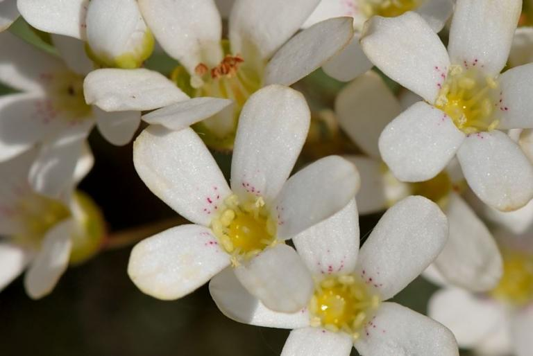 Saxifraga cochlearis 'Minor'